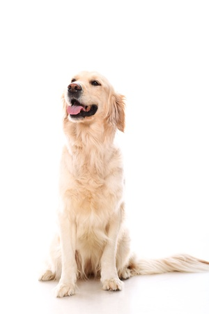 panting: Cute golden retriever over white background Stock Photo