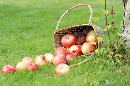 Lots of apples from a basket lying on a grass near a tree  photo