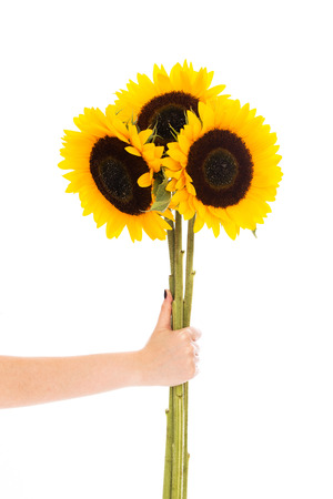 Three sunflowers held by a hand over a white background photo