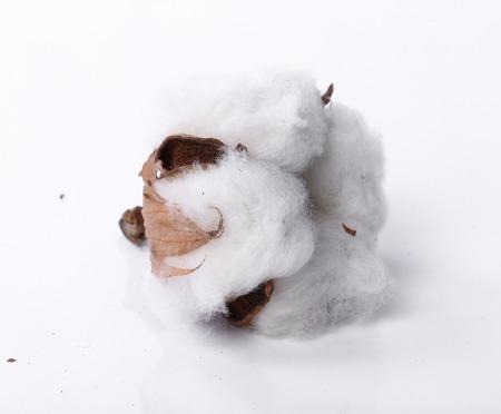 plant gossypium: Fiore di cotone su uno sfondo bianco