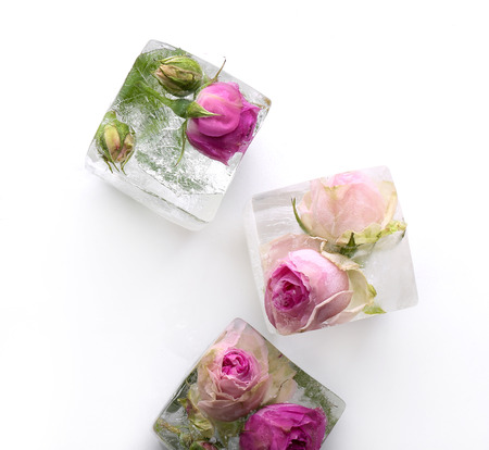 ice plant: Frozen rose in ice cube