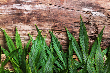 medicinal leaf: Cannabis on a wooden background Stock Photo