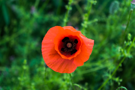 papaver rhoeas: red Papaver rhoeas in a green field.