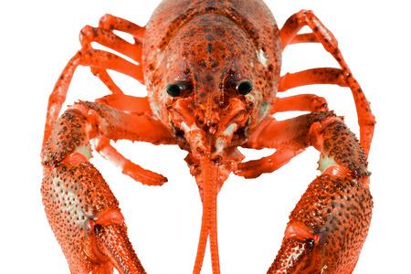 cancers: Fresh boiled red crayfish isolated on white background Stock Photo