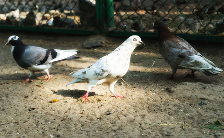 large bird: Pigeon. Dove. The large bird genus is, often referred to as the typical pigeons