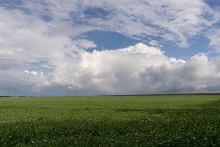 moody sky: Field blossoming green peas over dark moody sky.