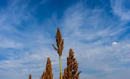 sorgo: campo de sorgo en el cielo azul primer plano de fondo Foto de archivo