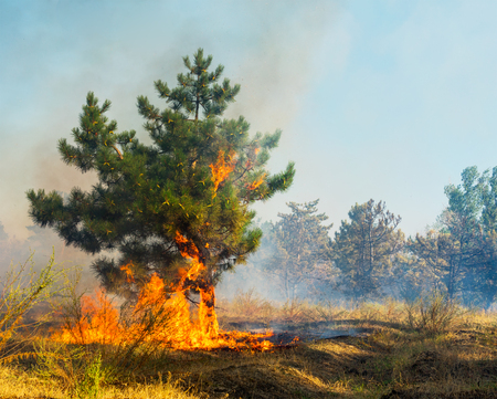 Forest fire. Using firebreak for stoping wildfire Stock Photo