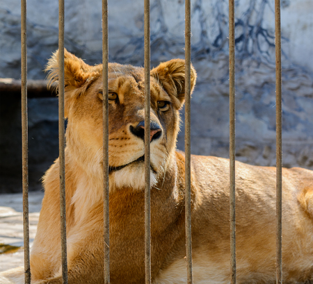 animal welfare: captive lioness behind the fence of cage. Stock Photo