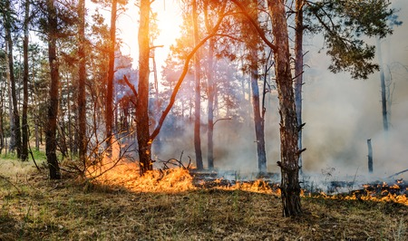 Forest Fire, Wildfire burning tree in red and orange color Stock Photo
