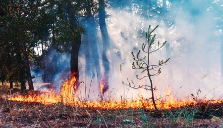 fallen tree: Forest fire. fallen tree is burned to the ground a lot of smoke when vildfire