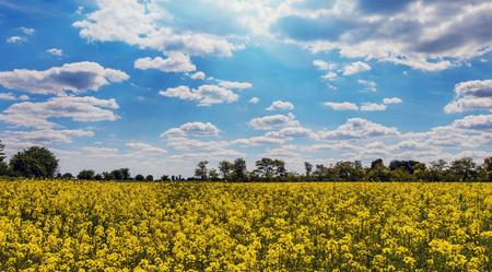 canola: Canola Field Under The Sun in Summer