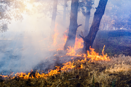 Development of forest fire. Flame is starting trunk trees.