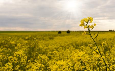 Yellow rape field under nice clouds in blue sky Stock Photo