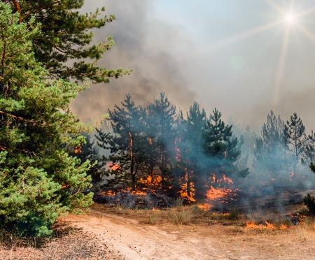 Jonge dennen in vuurvlammen. Bosbrand. Geschikt voor het visualiseren van veldbranden of voorgeschreven branding.