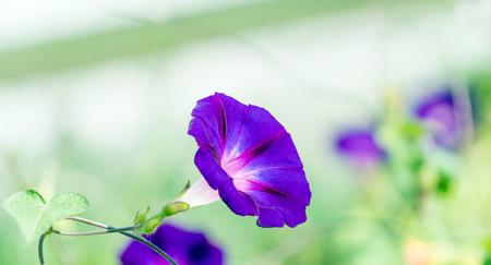 좋은 흐리게 bokeh와 나팔꽃의 꽃