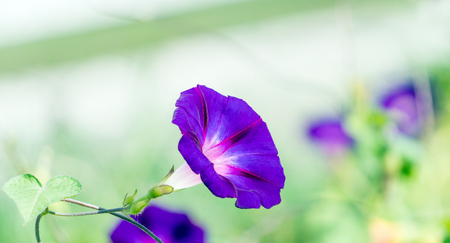 flower of morning glory with a nice blurred bokeh