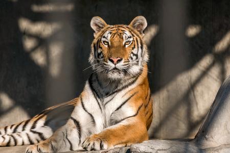 Cerrar vista de un tigre siberiano.
