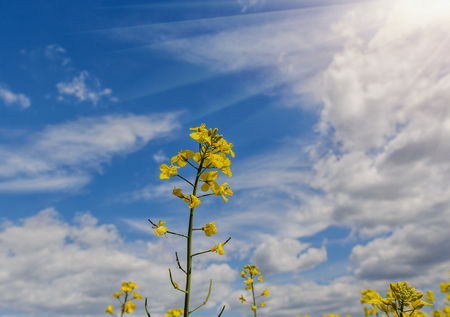 Rapeseed Brassica napus, also known as rape, oilseed rape, rapa, rappi, rapaseed. Field of bright yellow rapeseed in summer. Blue sky with clouds in background.