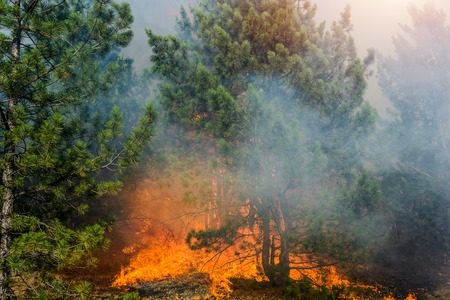 Forest Fire, Wildfire burning tree in red and orange color. Stock Photo - 88141051