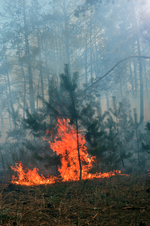 Forest fire. Burned trees after forest fires and lots of smoke