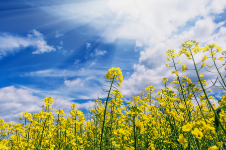 Plenty of yellow rapeseed flowers against the sky in the springtime.