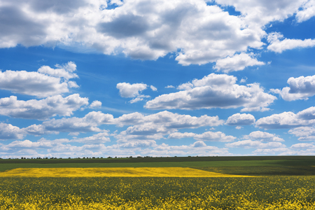 Field of bright yellow rapeseed in spring. Rapeseed Brassica napus oil seed rape. Stock Photo