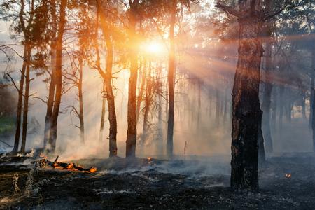 火。山火事、煙と炎の中で松林を燃やす。
