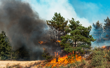 fire. wildfire, burning pine forest in the smoke and flames. Reklamní fotografie - 95078619