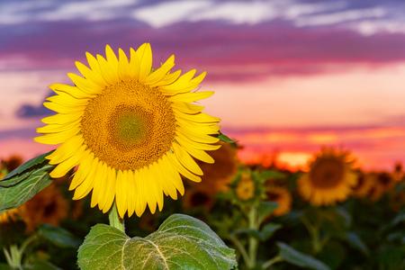 Field of sunflowers. Field of sunflowers close up Stockfoto