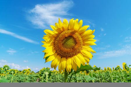 Piękne słoneczniki w naturalnym tle pola. Kwitnący słonecznik. Helianthus annuus, czyli słonecznik, którego okrągłe główki kwiatowe w połączeniu z płatkami wyglądają jak słońce. Zdjęcie Seryjne