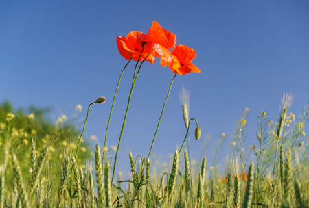 Scarlet poppy blossoms on a poppy field on a sunny summer day. A lonely poppy that stirs from the wind. Opium flower. Stock Photo