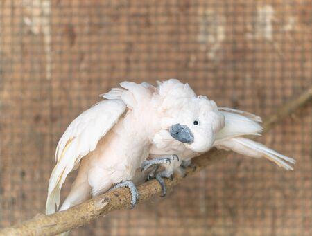 Cute pink parrot sits on a branch and looks at the camera, turning his head to the side. Banque d'images