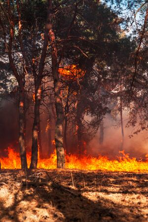 fire. wildfire at sunset, burning pine forest in the smoke and flames Stock Photo - 127583272