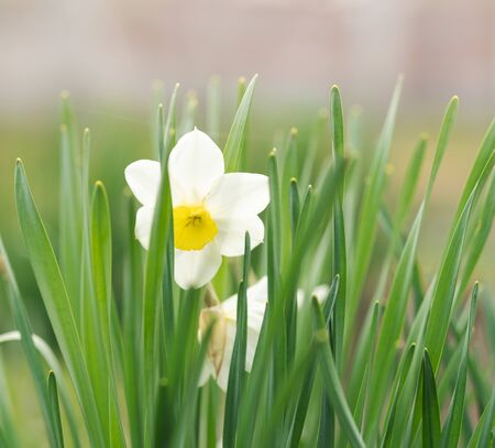 Beautiful white narcissus, blooming in a lawn. Spring awakening of nature, flowering of the first flowers. 写真素材