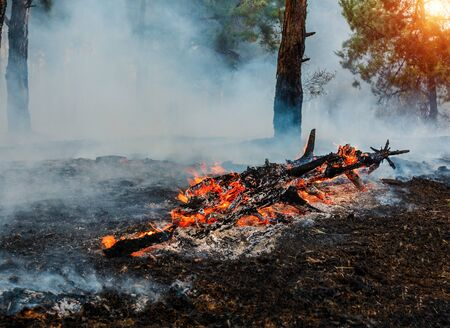 Forest fire. fallen tree is burned to the ground a lot of smoke when wildfire. Siberia on fire