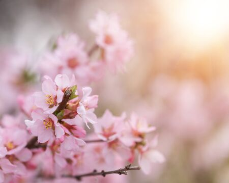 Flowering branches of apricots, whose flowers envelop the rays of the warm spring sun. Beautiful flowers that smell in spring. Stock Photo
