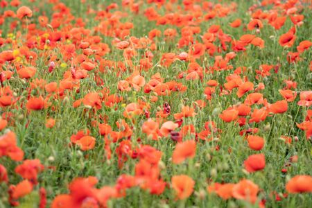 A field of wild red poppies on a bright sunny day. Blooming opium flowers. Colorful summer landscape. Zdjęcie Seryjne
