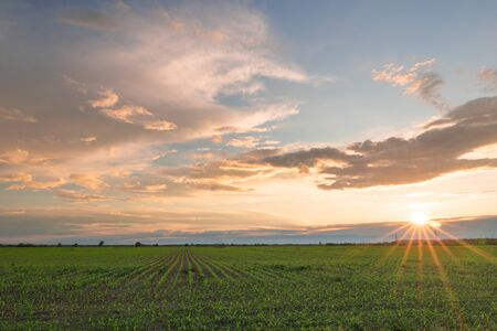 Sunset over agricultural green field.