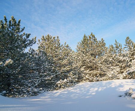 Coniferous forest covered with snow against a blue sky. Fairy tale on a winter day. Waiting for the Christmas miracle.