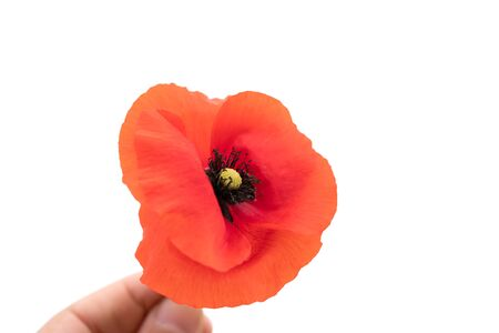 Hand holding a Red Poppy on a white background. 版權商用圖片