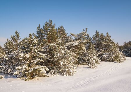 Beautiful winter landscape with snow covered trees. Forest in the frost. 版權商用圖片