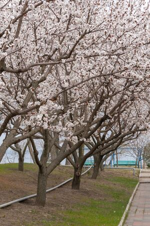 Alley of flowering apricot trees on a sunny spring day. 版權商用圖片