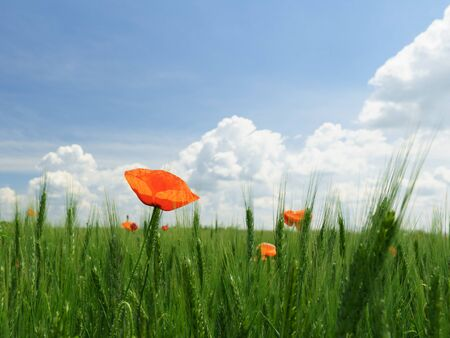 Scarlet poppy blossoms on a poppy field on a sunny summer day. A lonely poppy that stirs from the wind. Opium flower. 版權商用圖片