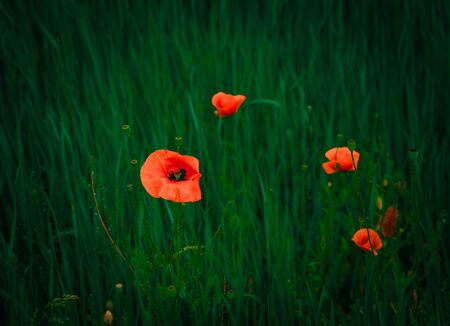 Red poppy growing in a field of wheat, spring sunny day close up. 版權商用圖片
