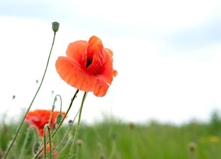 A field of wild red poppies on a bright sunny day. Blooming opium flowers. Colorful summer landscape. 版權商用圖片
