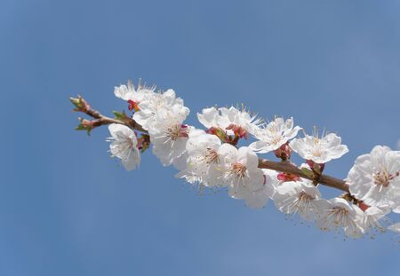 Beautiful white branches of a blooming apricots in the spring in the background blue sky.