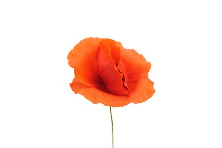 Wild red poppy on a white background. Bright and juicy flower.