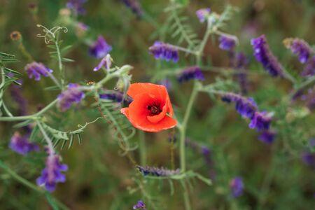 Lone poppy flower surrounded by purple wildflowers. Beautiful summer landscape. 版權商用圖片