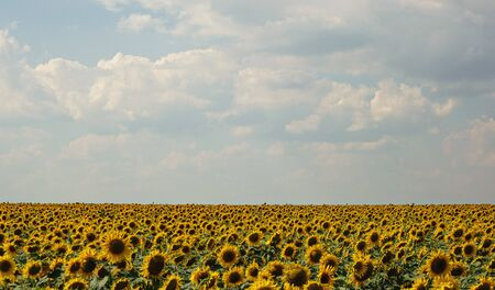 Field of sunflowers on a bright summer day. Agricultural landscape